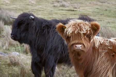 long haired Highland cattle in Scotland Stock Photo - 11044509