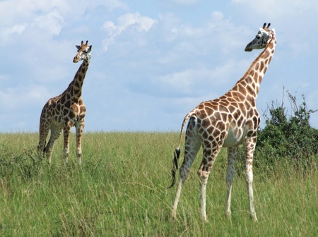 wide grassland including two Rothschild Giraffes in Uganda (Africa) photo