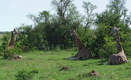 some Rothschild Giraffes resting on the ground in Uganda (Africa) photo