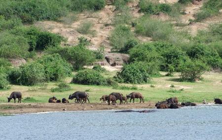 African Buffalos in Uganda (Africa) Stock Photo - 10917613