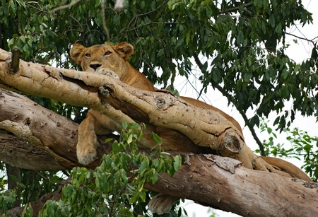 a Lion resting in a tree in Uganda (Africa)