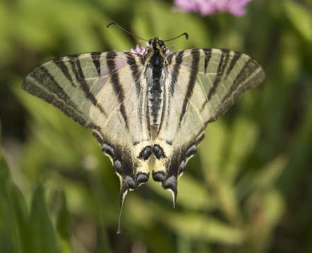 scarce: butterfly named Scarce Swallowtail in floral ambiance Stock Photo