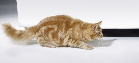 sneaking: young reddish Maine Coon cat while sneaking in front of a couch Stock Photo