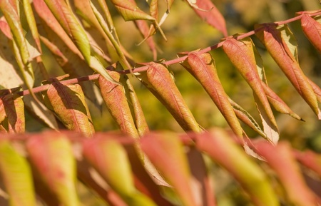 momentariness: reddish staghorn sumac leaves at autumn time