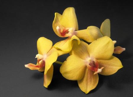 agleam: arreglo de flores amarillas de orqu�deas en fondo oscuro Foto de archivo