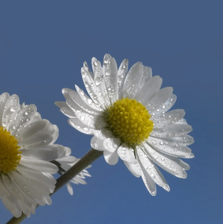 moistness: daisy flowers with water drops in blue back