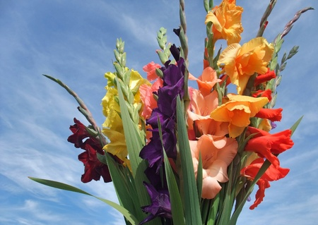 a sunny illuminated bunch of colorful gladioli flowers in front of blue sky photo