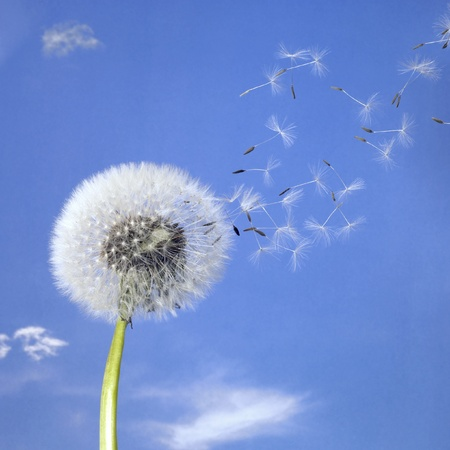 dandelion wind: blowball and seeds in blue sky Stock Photo