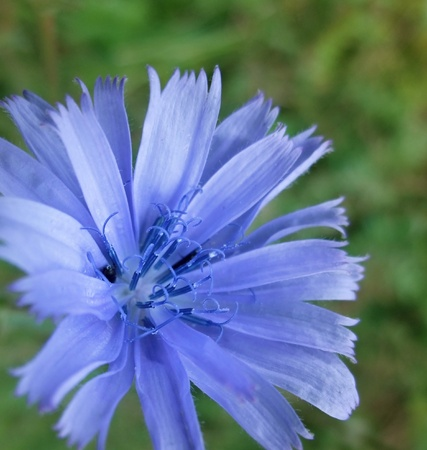 lavender coloured: closeup of a blue chicory flower in green blurry back