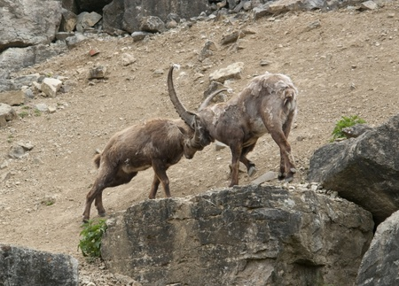 two Alpine Ibex while fighting at spring time in stony ambiance photo
