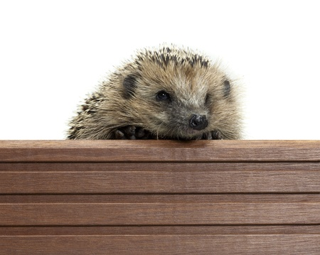 frontal portrait of a hedgehog while climbing over a wooden panel. Studio photography in white back Stock Photo - 11959720