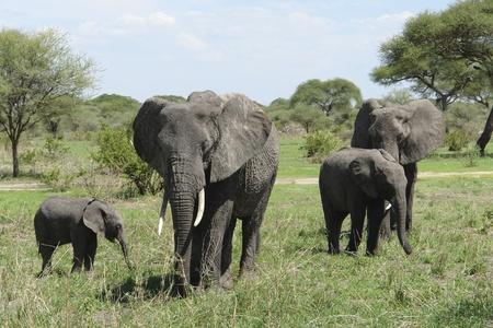 small group of Elephants in Tanzania photo