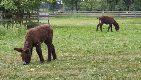 two Poitou donkeys out at fed on a farm in Southern Germany