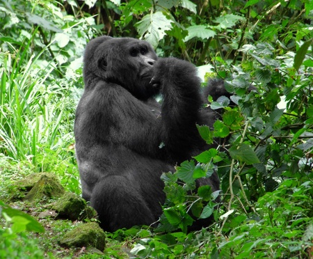 a Mountain Gorilla in the cloud forest of Uganda (Africa) Stock Photo - 11933949