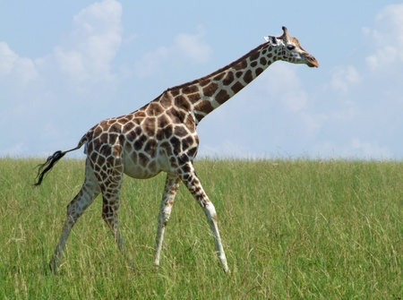 sunny scenery with a Rothschild Giraffe in Uganda (Africa) while walking through wide grassland Stock Photo - 11959712