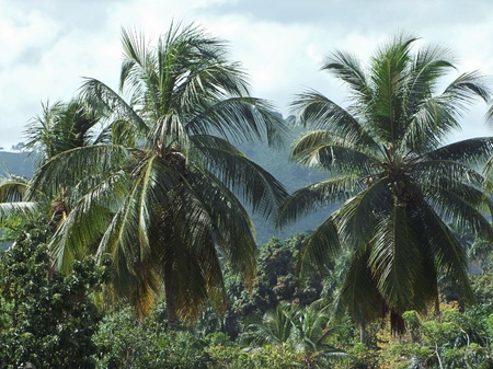 palm trees at the Dominican Republic, a island of Hispanola wich is a part of the Greater Antilles archipelago in the Carribean region photo