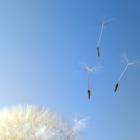dandelion seeds closeup in blue back photo