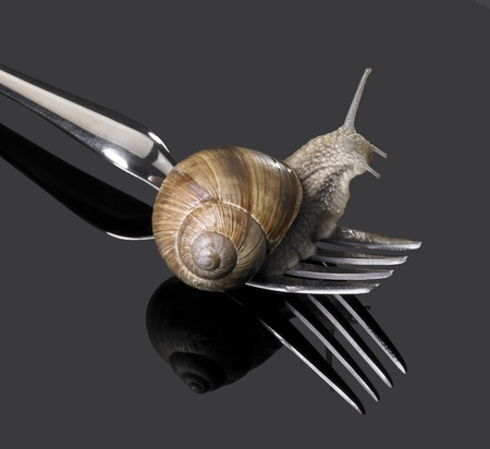 studio photography of a Grapevine snail creeping on a fork in dark reflective back photo