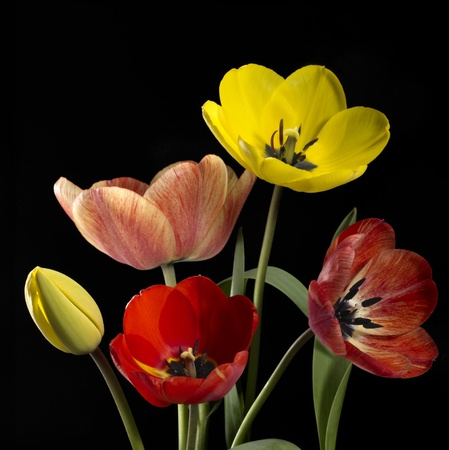Studio photography of some colorful tulip flowers in black back photo