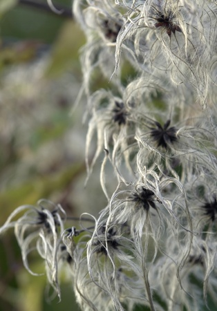 natural background showing a detail of feathered seeds in blurry back Stock Photo