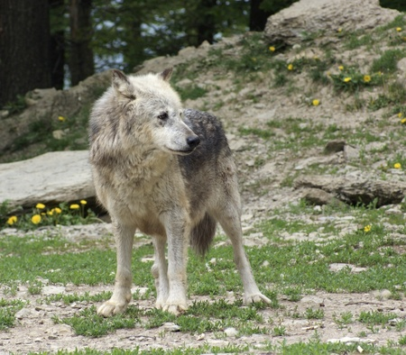 gray wolf: Gray Wolf in natural back Stock Photo