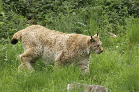 sneaking: sideways shot of a Eurasian Lynx while sneaking on green grassland