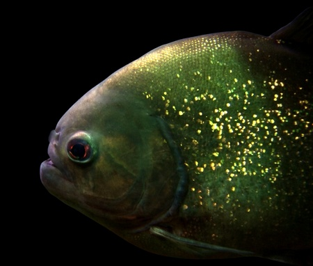 detail of a Piranha in black back photo