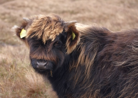Highland cattle with dark brown long hair in Scotland Stock Photo - 11951961