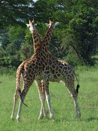 two male Rothschild Giraffes at fight in Uganda (Africa) photo