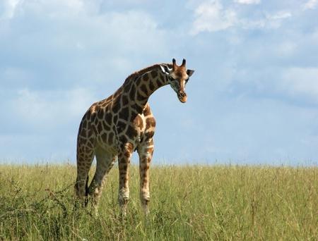sunny grassland scenery including a Rothschild Giraffe in Uganda (Africa) photo