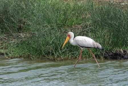 waterside scenery including a bird named Yellow-billed Stork in Uganda (Africa) photo