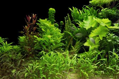 Unterwasserlandschaft mit vielen Wasserpflanzen und einigen Fischen Standard-Bild - 11960061