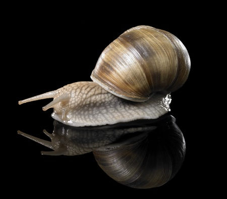 studio photography of a Grapevine snail creeping in black reflective back photo