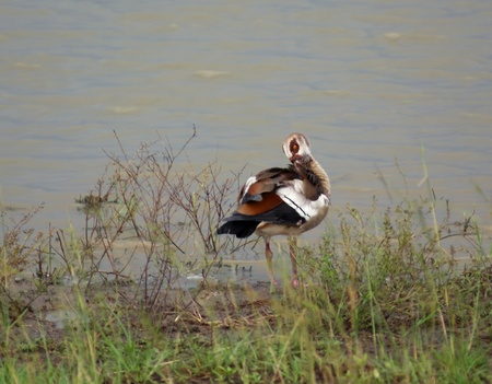 Egyptian Goose in Uganda (Africa) standing waterside photo