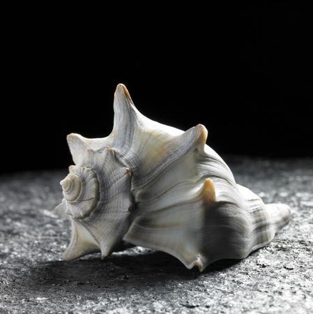 loopy: studio shot of a seashell on raspy ground in dark back