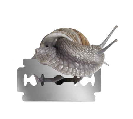 allegory painting: studio photography of a Grapevine snail creeping on the edge of a razor blade in white back