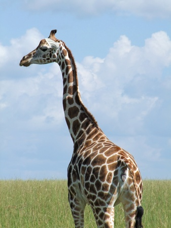 'living organism': detail of a Rothschild Giraffe in Uganda (Africa)