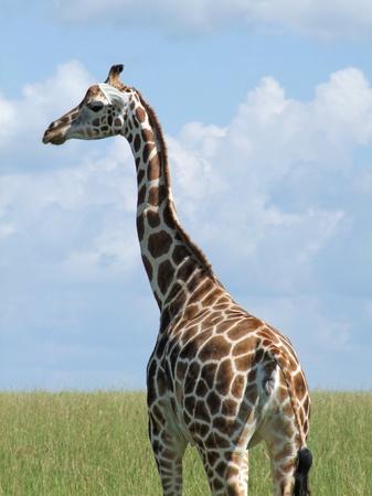 jirafa: detalle de una jirafa de Rothschild en Uganda (�frica)