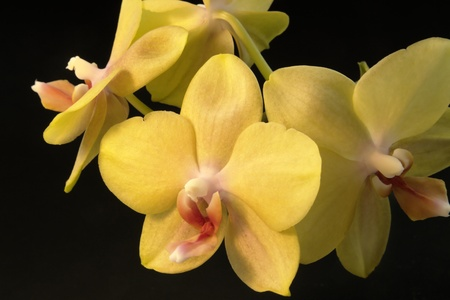 agleam: some yellow orchid flowers in black back