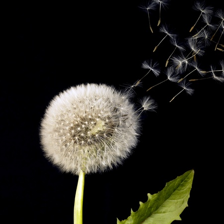 blowball: blowball and flying seeds in black back