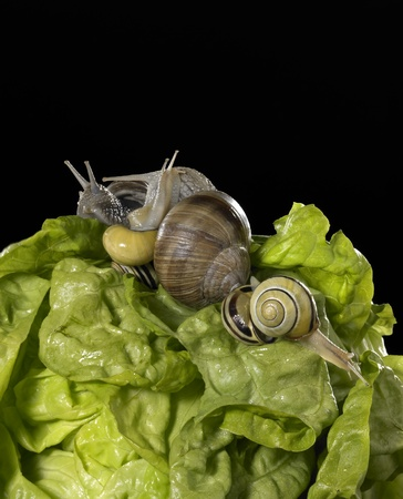 edible snail: studio photography of a head of lettuce and some snails in black back