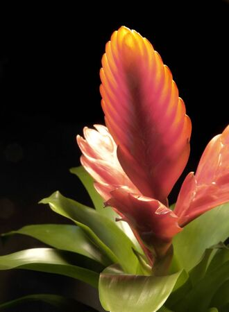 bromeliad: studio shot of a bright illuminated red bromeliad in dark back