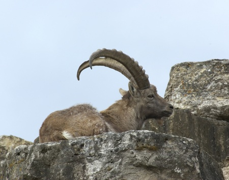 �rock formation�: Alpine Ibex while resting on rock formation Stock Photo