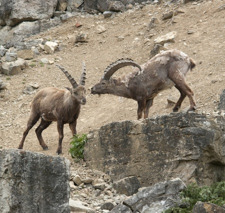 two Alpine Ibex at while fighting at spring time in stony ambiance photo