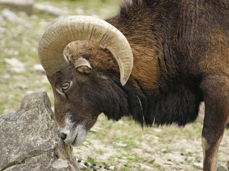 mouflon: retrato lateral de un mufl�n mientras se frota sobre una piedra