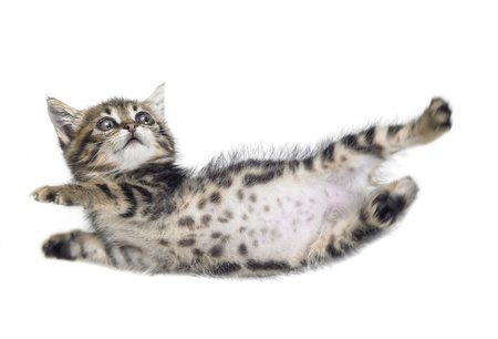 domestic cat: Studio photography of a falling down kitten isolated on white