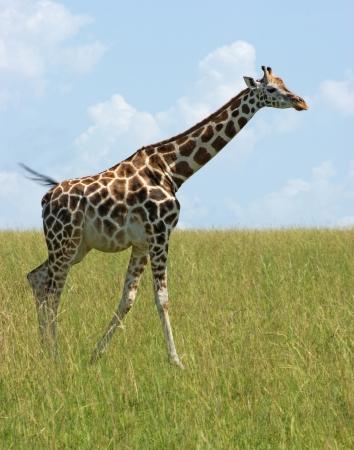 a Rothschild Giraffe in Uganda (Africa) walking through green savannah photo