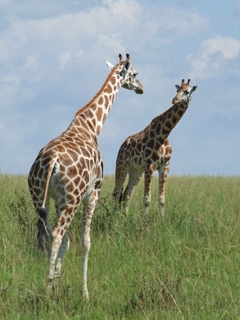 two Rothschild Giraffes looking on each other in Uganda (Africa) photo
