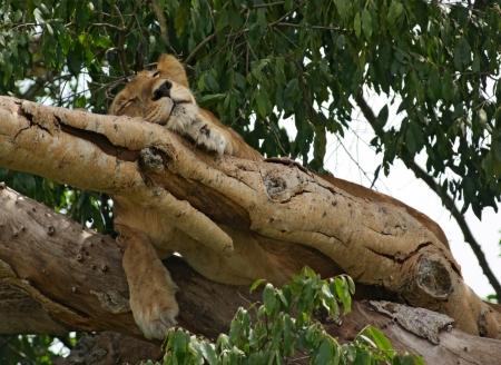 Uganda: a Lion resting in a tree in Uganda (Africa)