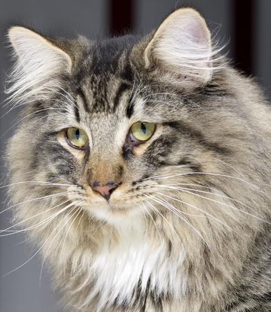 portrait of a Norwegian Forest Cat photo